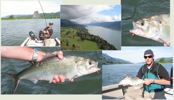 Fly Fishing for Shad on the Columbia River